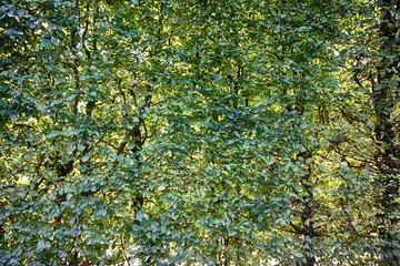 beech tree leaves texture
