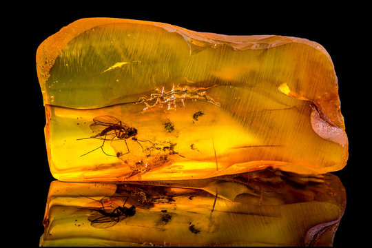 Amazing baltic amber with frozen in this piece a mosquito, isolated on black background.