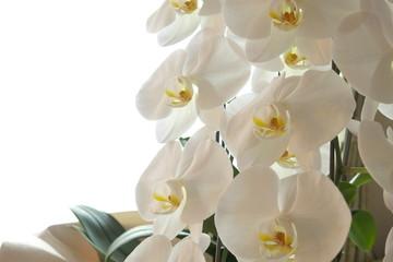 胡蝶蘭(こちょうらん) - Beautiful Phalaenopsis orchid flowers