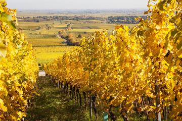 Germany,Rhineland-Palatinate, Pfalz, vineyards in autumn colours, German Wine Route