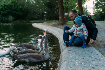 Baby girl and father feeding swans in a park in autumn