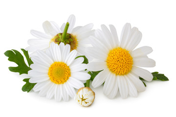 Photo sur Plexiglas Marguerites Lovely Daisies (Marguerite) isolated on white background, including clipping path without shade. Germany