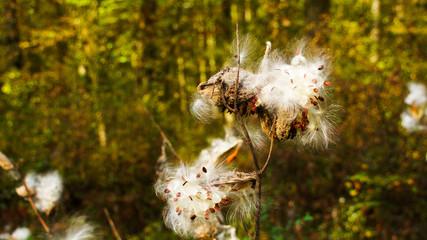 Burdock flowering in the forest