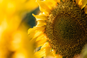Sunflower close up sunny bright background