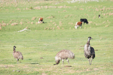 Emus walking and feeding in a field with cows