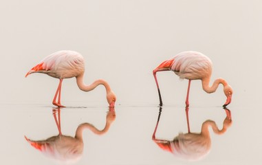 Foto auf Leinwand Flamingo Greater Flamingos ( Phoenicopterus ruber roseus) with reflection on the surface, Walvis bay, Namibia.