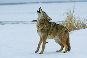 Coyote Howling taken in central MN under controlled conditions