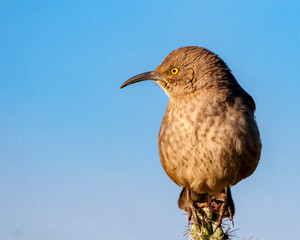 curved bill thrasher perched on cactus