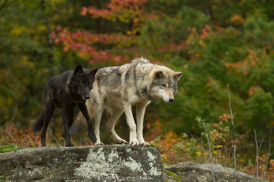 Gray Wolf pair taken in central MN under controlled conditions