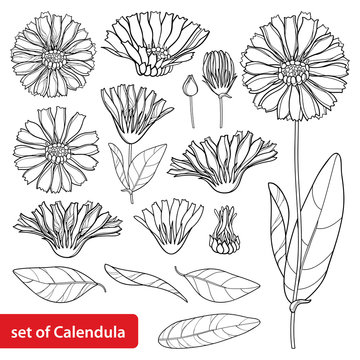Vector set with outline Calendula officinalis or pot marigold, bud, leaves and flower in black isolated on white background. Contour medicinal plant Calendula for herbal design or coloring book.