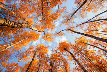 beautiful natural landscape with a view from the bottom to the trunks and tops of birch trees with Golden bright orange autumn foliage against the blue sky Fotobehang