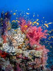 Rotfeuerfisch und bunte Korallen an einem Korallenriff im Roten Meer in Ägypten