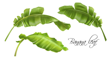Vector realistic illustration set of tropical banana leaves isolated on white. Exotic botany design element for cosmetics, spa, perfume, fashion. Can be used as hawaiian style design element