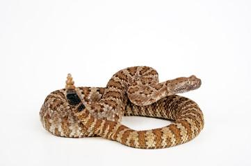 Basilisken-Klapperschlange (Crotalus basiliscus) - Mexican west coast rattlesnake