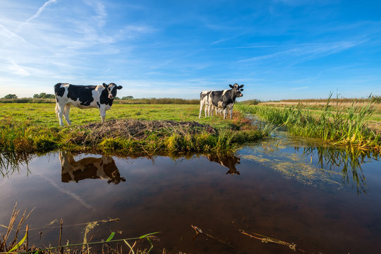 Curious young cows in a polder landscape along a ditch, near Rotterdam, the Netherlands