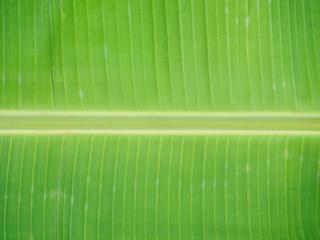 Close up of green banana leaf background