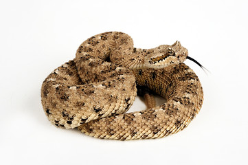 Seitenwinder-Klapperschlange (Crotalus cerastes) - sidewinder rattlesnake
