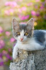 Kitten resting on a rock in front of pink flowers, Rhodes, Greece