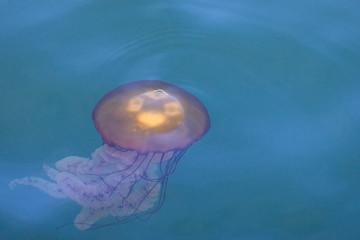 Qualle im Meer vor Monterey in Kalifornien, USA