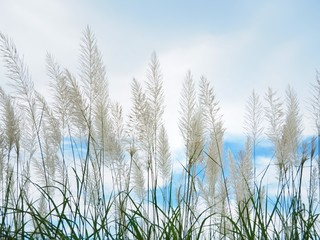 White grass flower The background is blue sky and white cloud in the summer concept is fresh and freedom