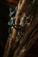 Camouflage animal from Vietnam rain forest, Vietnamese mossy tree frog or Ninja frog hiding back dark dry wood with low light and selective focus, Background for Natural or exotic pet, Copy space