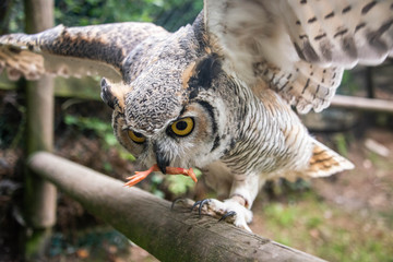 A great horned owl lands on a perch to retrieve a chick leg