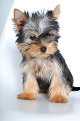 Yorkshire, Terrier, puppy, dog, little dog