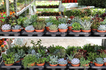 Variety of small decorative succulents in pots on the shelves at the spring flower show.