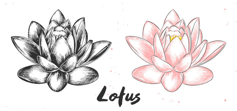 Vector engraved style illustration for posters, decoration and print. Hand drawn sketch of lotus flower in monochrome and colorful. Detailed vegetarian food drawing.