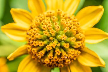 Yellow Flower Pollen Macro Closeup In Summer