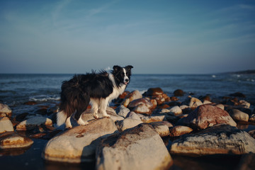 Dog on the sea stone