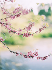 blossoms on tree branches  in nature