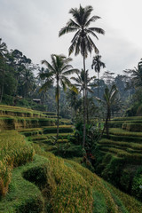 Beautiful views of rice field terrace in Ubud Indonesia countryside farming land