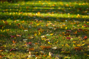 autumn maple leaves on green grass background