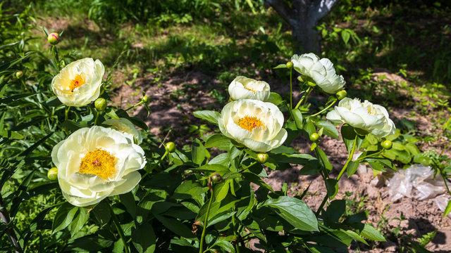 Herbaceous Peonies 'Lemon Chiffon' in flower