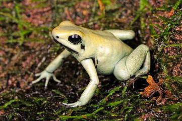 Schrecklicher Pfeilgiftfrosch (Phyllobates terribilis) - Golden poison frog