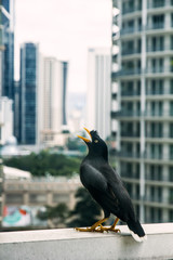 Portrait close up of a black bird perched on a ledge singing or squawking with a bokeh backdrop of skyscrapers. Powerful metaphor for urban wildlife. In Kuala Lumpur, Malaysia