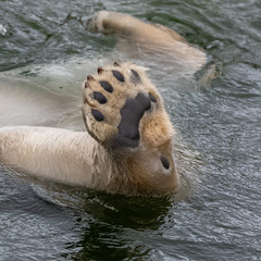 Polar bear in the water, leg