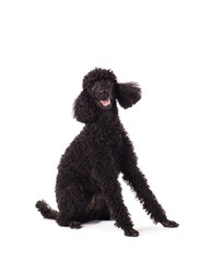 poodle sitting on white background