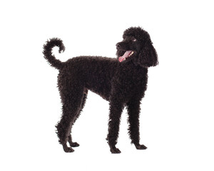 poodle standing on white background