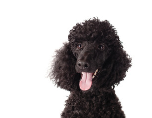 poodle smiling on white background