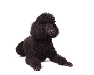 Poodle laying on white background