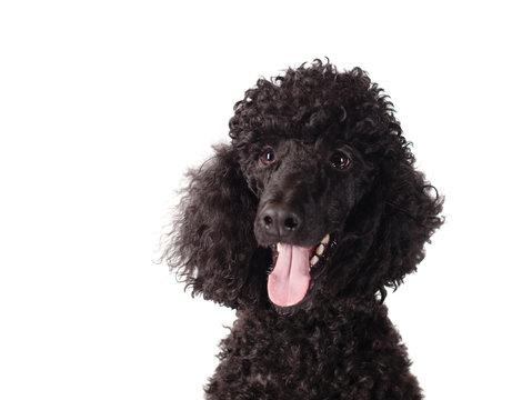 poodle smiling on white background
