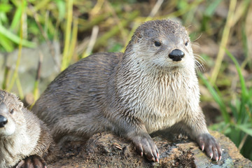 Portrait of an Asian small clawed otter (aonyx cinerea)