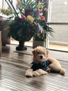 Maltipoo Puppy with Floral Arrangement