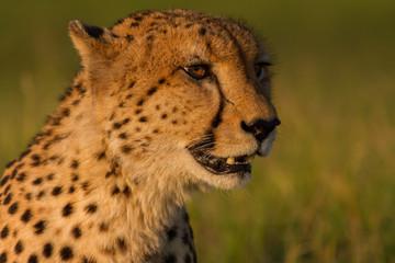 Golden cheetah portrait at sunset in the Okavango Delta, Bostwana.
