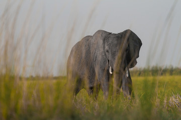 African Elephant with big tusks behind grass on the plains in Chobe National Park, Botswana.