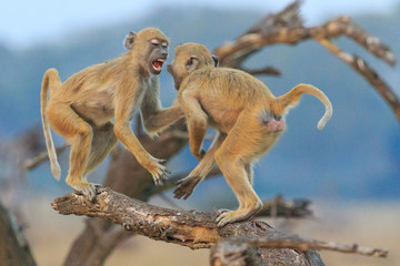 Vervet monkeys fighting on a branch in the blue hour in Liwonde National Park, Malawi.