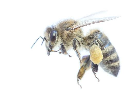 Honigbiene Freigestellt