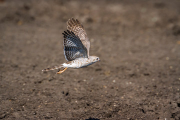 Dark Chanting Goshawk in Kruger National park, South Africa ; Specie Melierax metabates family of Accipitridae
